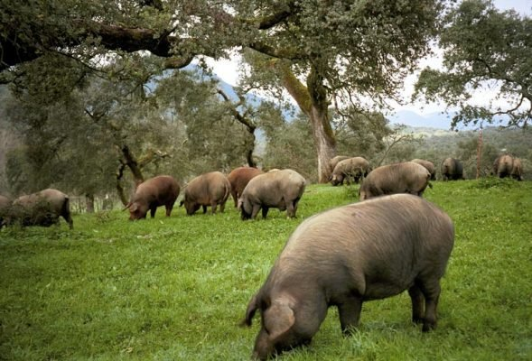 Heo đen Iberico chăn thả tự nhiên ăn quả sồi và oliu